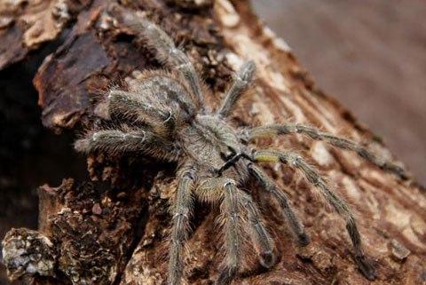 Loài nhện Poecilotheria rajaei mới phát hiện.